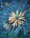 Pine flower Stock Photography