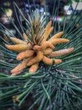 Pine flower stock photo