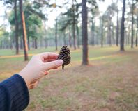 Pine flower or died pine flower. In the hand Royalty Free Stock Photos