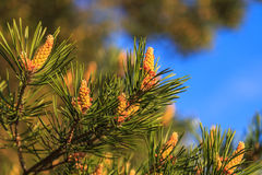 Pine flowers, flowers are formed. From lumps Royalty Free Stock Photos