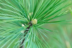 Pine flowers on a green background in natural light stock photo