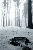 Pine into the fog. Snow covered pine trees shrouded in fog Stock Photos