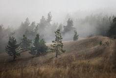 Pine in the fog Royalty Free Stock Photo