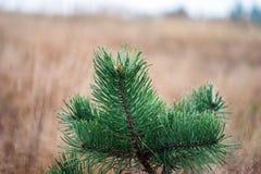 Pine in the fog (Pínus) Royalty Free Stock Photos