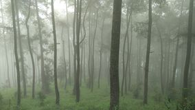 Pine and Foggy Stock Photos