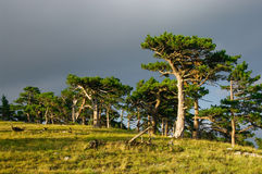 Pine forest. Scenic view of pine tree forest in countryside Stock Images