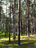 Pine forest. Royalty Free Stock Photo
