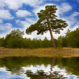Pine in forest Royalty Free Stock Photo