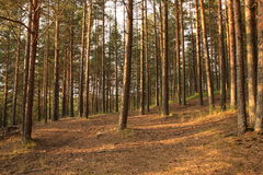 Pine forest. In the evening Royalty Free Stock Photos
