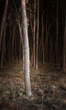 Pine forest. Pine tree forest in the night stock images