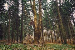 Pine forest. Big tree in the pine forest royalty free stock photography