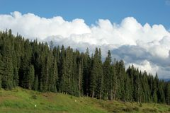 Pine forest. Breathtaking view of pine tree forest Stock Image