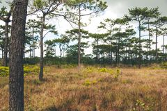 Pine forest. Pine tree forest nature landscape stock image