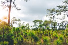 Pine forest. Pine tree forest nature landscape stock photography
