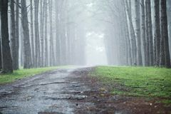 Pine forest. View with fog stock image