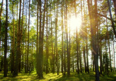 Pine forest. Beautiful solar beams in a pine forest Royalty Free Stock Image