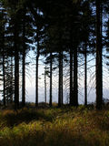 Pine forest. Photo of autumnal pine forest Royalty Free Stock Photography