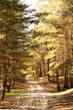 Pine forest. Beautiful pine forest in summer Royalty Free Stock Photo