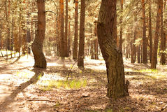 Pine forest. Beautiful pine forest in summer Stock Photography