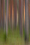 Pine forest. A lot of straight pine trunks in motion blur Stock Photo