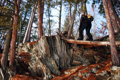 Pine Forest. A man walking on a downed log in a pine forest Stock Photos