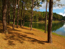 Pine forest. Pang-ung, Maehongson, Pine forest in Thailand Royalty Free Stock Image