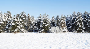 Pine-forest. Pine forest in winter time Royalty Free Stock Images