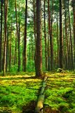 Pine forest. Nobody summer pine forest tree trunks stock photography