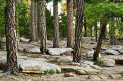 Free Pine Forest Stock Photos - 20248493