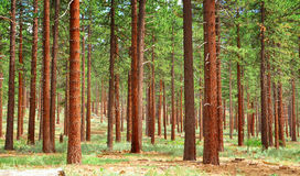 Pine forest. Near Lake Tahoe, Northern california Stock Photography
