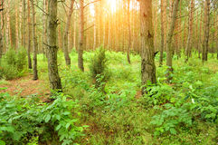 Pine forest, Royalty Free Stock Photo
