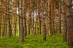 Pine forest. In beautiful sunset light Stock Image