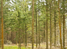 Pine forest. This is a pine forest in Wicklow, Ireland Stock Photos