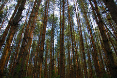 Pine forest. Trunks in front of sky stock photography