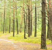 Pine forest. Road in the pine forest royalty free stock images