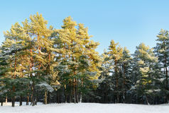 Pine Forest. On A Sunny Winter Day Stock Image
