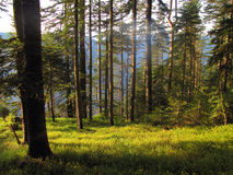 Pine forest. Early in the morning, Mt.Durmitor, Montenegro Royalty Free Stock Images