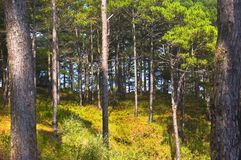Free Pine Forest Royalty Free Stock Image - 3082366