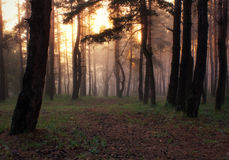 Pine forest. Morning in a pine forest stock photography