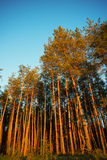 Pine forest. Royalty Free Stock Photography