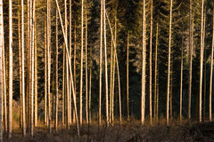 Pine forest. Abstract image of a pine forest in winter Stock Photos