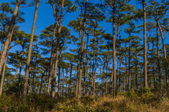Free Pine Forest Stock Images - 45498544