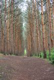 Pine forest Royalty Free Stock Image