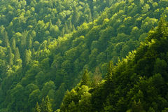 Pine forest. On a mountain slope in sunlight Royalty Free Stock Photography