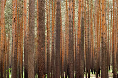 Pine forest. Forest, pine tree trunks background Stock Images