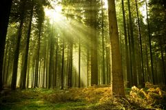 Pine Forest. With the last of the sun shining through the trees Royalty Free Stock Image