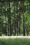 Pine forest. Blossoming grass in front of tall pine trees Stock Image
