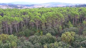 Pine forest aerial view. Navarre, Spain
