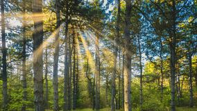 Pine forest against a background of bright sun. Pine forest in summer against a background of bright sun royalty free stock photography