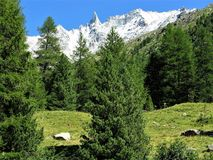 Pine forest and Aiguille de la Tsa near Arolla, Switzerland Stock Image